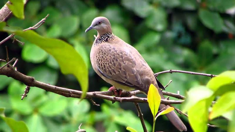 Kỹ thuật nuôi Chim Cu Gáy và cách lựa chọn, chăm sóc chim cu gáy hay